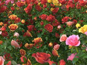 مدل گل باغ رز