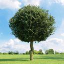 مدل درخت جنگل بید مجنون لندسکیپ باغ پارک چنار