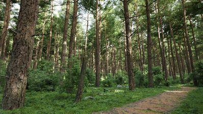 مدل سه بعدی درخت جنگلی کاج