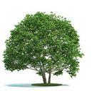 مدل درخت جنگل بیدمجنون کاج