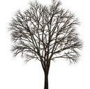 تکسچر درخت بوته شمشاد کاج
